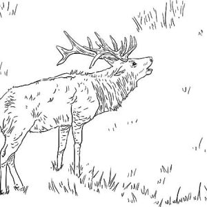 Elk Calling For His Mate Coloring Pages