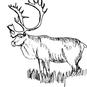 Elk Stepping On Grass Coloring Pages