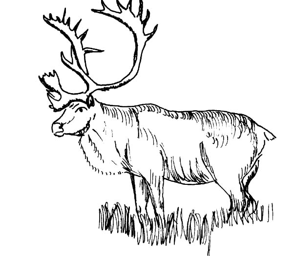 elk coloring pages   Download Online Coloring Pages for Free - Part 14