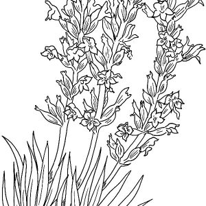 Implantation Lavender Flower Coloring Pages