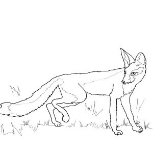 Kit Fox Hiding Behind Grass Coloring Pages