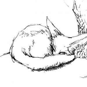 Kit Fox Is Sleeping Coloring Pages