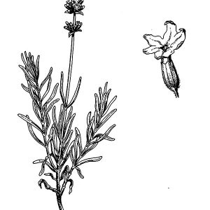 Lavandula Angustifolia Lavender Flower Coloring Pages