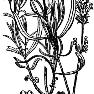 Lavender Flower Anatomy Coloring Pages