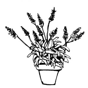 Lavender Flower Cultivation Coloring Pages