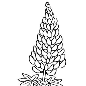 Lavender Flower Lavandula Coloring Pages