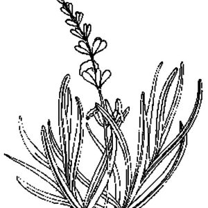 Lavender Flower For Aromatherapy Coloring Pages