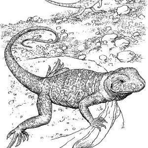 Lizard Living At Rocks Coloring Pages