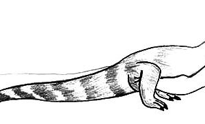 Long Tailed Komodo Dragon Coloring Pages