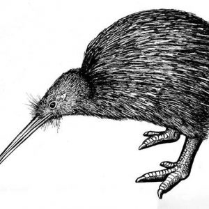 North Island Brown Kiwi Bird Coloring Pages