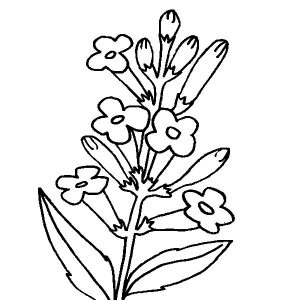 Planting Lavender Flower For Its Oil Coloring Pages