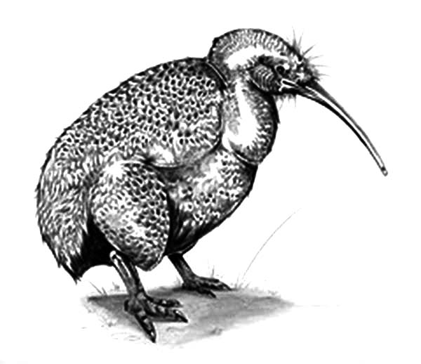 Realistic Picture Of Kiwi Bird Coloring Pages - Download ...