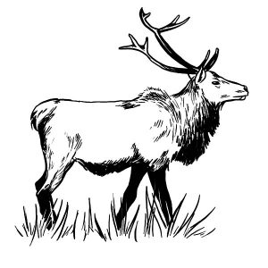 Sketch Of An Elk Coloring Pages