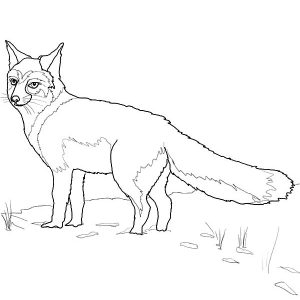 Wild Life Kit Fox Coloring Pages
