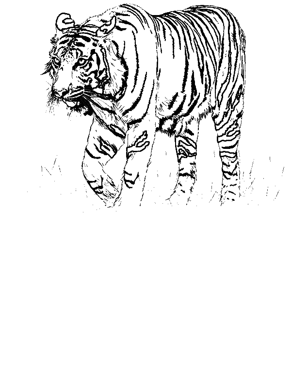 A Realistic Drawing Of Bengal Tiger